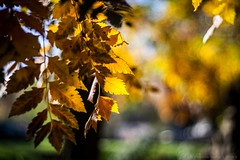 Golden Light (icemanphotos) Tags: trees light sunset sunlight colors leaves garden golden leaf bokeh naturallight