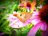 one more butterfly (mdanys) Tags: flower macro lithuania butterlfy lietuva moletai danys mdanys