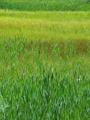 Marsh Grasses (Powskichic of Bend) Tags: blue sky water pine oregon centraloregon walking littlefalls kayak bend hiking august hike trail rafting kayaking dra deschutesriver 2013 createbeauty deschutesrecreationarea powskichicofbend brendareidirwin