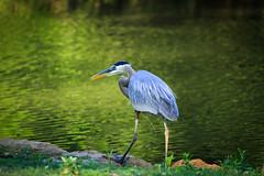 Blue Heron (Kay Martinez) Tags: bird heron crane kansas winfield blueheron wildbird greatnature specanimal cowleycounty bestofblinkwinners blinksuperstars bestofsuperstars
