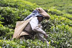 In the tea plantations (David Augustin) Tags: travel india women tea kerala inde southindia munnar womenatwork teaplantations womenworking teapickers tatatea indedusud