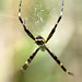 "Argiope • <a style=""font-size:0.8em;"" href=""http://www.flickr.com/photos/101688182@N03/9785391596/"" target=""_blank"">View on Flickr</a>"