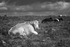 A Common Cow (Cris Rose) Tags: blackandwhite animal clouds zeiss 50mm cow skies sitting bokeh sharp m8 brooding bracken f2 common newforest planar