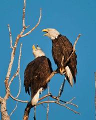 Two Part Harmony (Jim McConnell) Tags: nature nikon eagle wildlife pair bald mature raptor predator mates birdofprey refuge squawcreek d300s