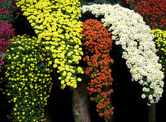 """""""Cascade"""" by My Lovely Wife (Puzzler4879) Tags: flowers ngc mums pointshoot nybg botanicgardens chrysanthemums canonpowershot kiku newyorkbotanicalgarden canondigital canonaseries canonphotography canonpointshoot a580 kengai canona580 canonpowershota580 powershota580 japanesegardening naturewithallitswonders mygearandme niceasitgets~lev1 japanesechrysanthemumgardening"""
