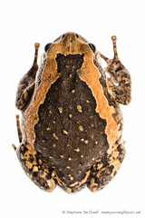 Asian Painted frog (Kaloula pulchra) (Stéphane De Greef - www.stephanedegreef.com) Tags: macro asia cambodia animalia myn anura amphibia chordata finalselection 2013 siemreapprovince neobatrachia microhylidae kaloulapulchra asianpaintedfrog microhylinae ranoidea kaloulasp