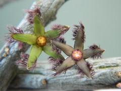 """Rhytidocaulon ciliatum"" (A Botanical Wonderland (Million+ views)) Tags: flower stick stapelia ciliatum orbea asclepiadaceae huernia duvalia caralluma rhytidocaulon"