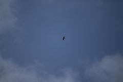 03052013-IMG_2819.jpg (johnny.farquet) Tags: animaux oiseaux gypatebarbu