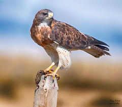 Swainson's Hawk (Pattys-photos) Tags: red hawk snake tail