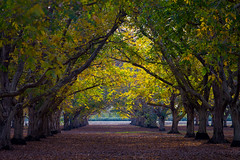 Walnut Orchards in the Fall (Anthony Dunn Photography) Tags: autumn trees fall orchard valley crops sacramento agriculture walut