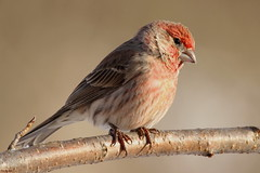 House Finch (Diane Marshman) Tags: red house black tree male bird nature up birds eyes branch close body head pennsylvania wildlife chest tail feathers tan picture belly pa finch streaked streaks northeast northeastern rosy notched bronw