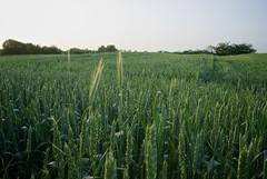 Pšenica / Wheat