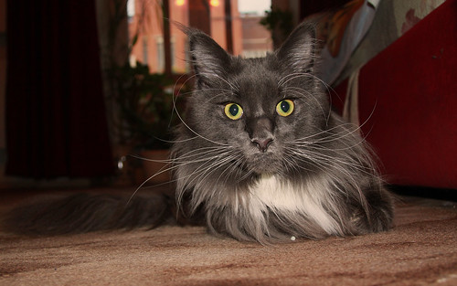 maine coon Florimon 73