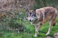 (mathiilde.b) Tags: wild france nature animal wolf loup aveyron uploaded:by=flickrmobile flickriosapp:filter=nofilter