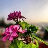 #زهرة #خبيزة #flower #Hibiscus #Photography | @saleh4one