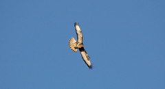 Buzzard. (northernkite) Tags: bird canon eos flight sigma pale raptor buzzard common 400mm 1100d