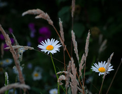 True Flower Power. (Omygodtom) Tags: wild flower nature grass weather season weed nikon wildflower dazy simpleflowers nikon70300mmvrlens floralaromas