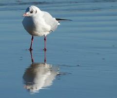 The calm after the storm (fotobuni) Tags: sea reflection seaside seagull gull reflect blackheadedgull