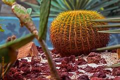 Singapore (Edi Bähler) Tags: hotpick kaktus natur pflanze singapore singapur cactus nature plant nikond800