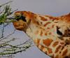 Delicate dining. (Rainbirder) Tags: kenya samburu reticulatedgiraffe giraffacamelopardalisreticulata rainbirder