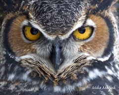 Great Horned Owl (Mike..M) Tags: america wildlife owl predator birdofprey greathornedowl