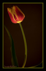 A Tulip Afternoon_0614 copy (daperdave) Tags: flickrsfinestimages2