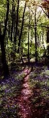 woodland path (Jamie  Sproates) Tags: flowers blue trees panorama bells canon woodland landscape mud path dirt 5d hdr 2470l verticle countydurham mkiii mk3 hunwick wwwjamiesproatescom
