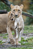 Lioness transporting her cub II (Tambako the Jaguar) Tags: winter wild baby cute cat mouth zoo cub switzerland big nikon serious small lion young basel protective attentive carrying lifting zolli transporting d4