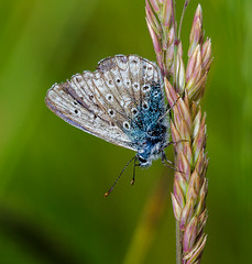 Common Blue Butterfly (davep90) Tags: 3 macro sisters three nikon sigma 150mm greenheart d7000 davep90