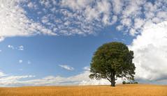 Tree on a Big Sky Day (wentloog) Tags: uk sky cloud tree green field yellow wales interestingness britain farm wheat cymru cardiff explore crop caerdydd glamorgan lone lonely agriculture gwent explored wentloog stevegarrington michaelstoneyfedw fedw
