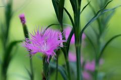 [NFFBFFF] Kawara-nadeshiko (Takashi(aes256)) Tags: park flower macro japan tokyo sumida   nadeshiko     mukaijima yamatonadeshiko hyakkaen kawaranadeshiko nikond4 nikonaiafmicronikkor200mmf4difed
