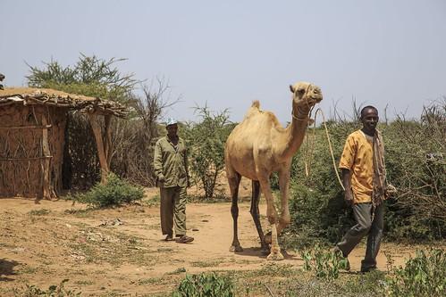 Shimbiraale Camel