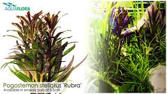 Pogostemon stellatus 'Rubra' (Filipe Oliveira (FAAO)) Tags: plants layout aquarium aquatic rubra planted aquascaping stellatus pogostemon aquaflora