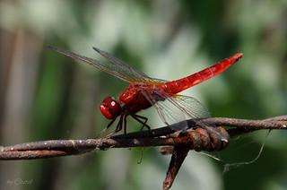 Dragonfly. Libelulă