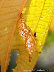 Emerald  Moth pupae- possibly Synchlora sp. (Dis da fi we) Tags: emeraldmoth geometrinae geometridae moth puntagorda toledo belize hickateebelize hickateepuntagorda jungle rainforest forest wildlife culture synchlora pupae mothpupae cottages hickatee