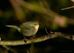 Common Yellowthroat (Danielirons02) Tags: nikond610 nikontc14 nikon300mmf4 commonyellowthroat coye maryland queenannescountymd queenannescounty maryland2016 2016 songbird warbler fullframe nikon
