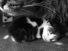 Mãe zelosa! (deisegomes1) Tags: gatinhos filhote gato iphone babycat cat