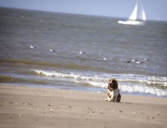 Basset Hound (nadia.smits) Tags: beache sea lovebassetdog hond dog basset bassethound
