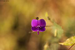 Wild Flowers (v4vjk) Tags: ratangad trek sahyadri canon40d nikon20mmf35ais nikon canon maharashtra india