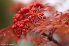 Rowanberries (K. Haagestad) Tags: rowanberries berries autumn