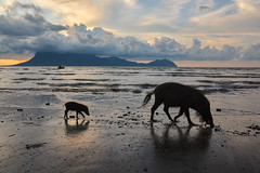 Mother and child (JulGlouton) Tags: borneanbeardedpig pig boar wildboar susbarbatus suidae sow piglet sanglier borneo sunset beach rainforest mangrove