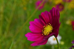Cosmos flower (Sandra Kirly Pictures) Tags: cosmosflower cosmos flower flowers summer budapest botanicalgarden fvszkert nature outdoor
