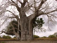 Old Boab Tree Bagamoyo Tanzania Africa (zad53) Tags: boabtree bagamoyo tanzania africa saveearth