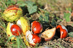 AUTUMN 2016  Winter is upon us (P.J.S. PHOTOGRAPHY) Tags: horse chesnuts autumn 2016 conkers makro leaves sycamore golden colours