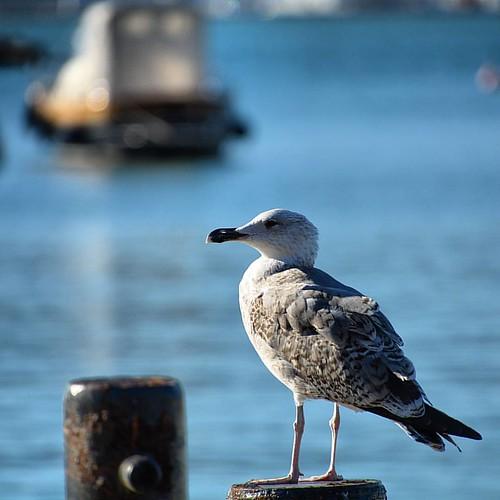 #seagull #igerslaspezia #igersliguria #igersitalia #volgolaspezia #volgoliguria #volgoitalia #ig_liguria #ig_italy #perlestradedellaliguria #perlestradeditalia #italia360gradi #italiainunoscatto #bestliguriapics #bestitaliapics #loves_mediterraneo #loves_