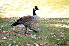 Canada Goose (--Anne--) Tags: autumn canada goose geese canadian bird birds nature wildlife waterfowl animalplanet