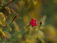 Cypress Vine Flower and Goldenrod (bamboosage) Tags: mc cosina 55 12 porst