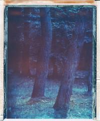 DENDROPHILE (iam.ina) Tags: trees tree polaroid polaroidweek inaechternach intrepidcamera blue rodenstock sironarn woods france