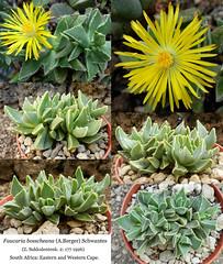 Faucaria bosscheana (collage)