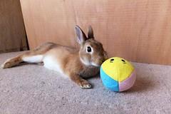 ICHIGO san 485 (mensore) Tags:  rabbit bunny netherlanddwarf brown